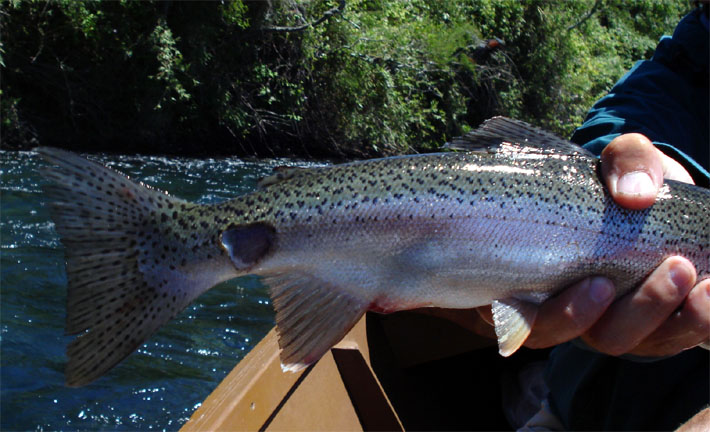 peces con malformaciones lesiones y deformaciones www lavaguada